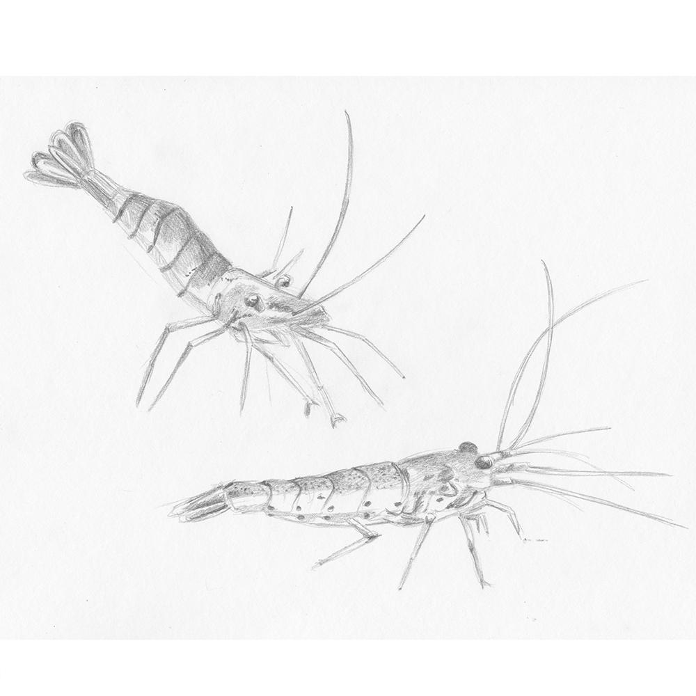 saint malo- 2-crevettes-sophiedeboissieu