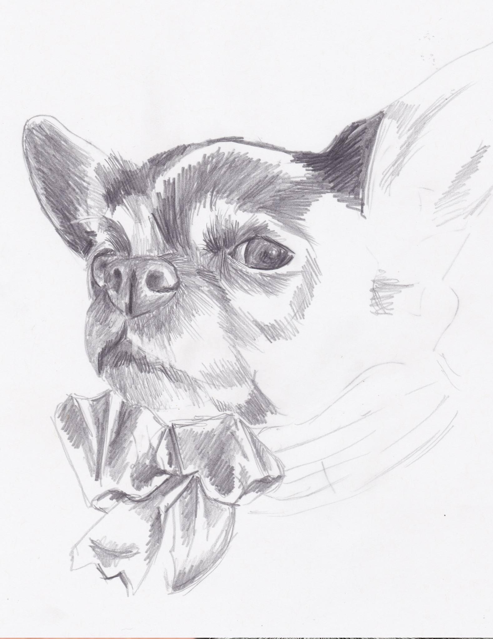 Portrait- dessin au crayon du chihuahua