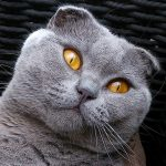 exemple photo scottish fold portrait animalier