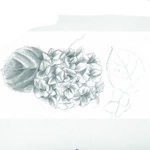 hortensias -saint malo- sophiedeboissieu copie