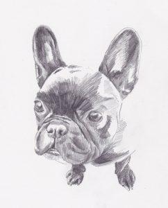 Portrait- dessin au crayon du bouledogue yucca sophie de boissieu