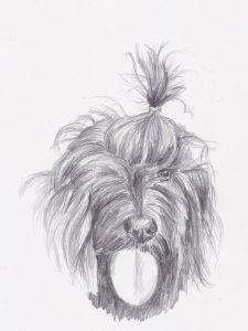 dessin au crayon du bichon havanais sophie de boissieu