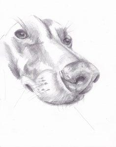 dessin au crayon du podenco andalou fenix sophie de boissieu