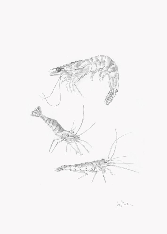 Trois crevettes - trois Portraits sur mesure 50 X 70 cm